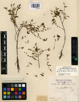 Lectotype of Cuphea palustris Koehne [family LYTHRACEAE]