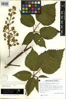 Holotype of Rubus palmensis A. Hansen [family ROSACEAE]