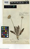 Type of Trichocline incana Cass. [family ASTERACEAE]