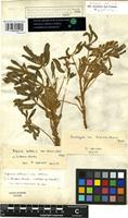 Lectotype of Lupinus termis Forssk. [family FABACEAE]