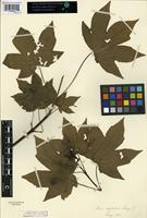 Isotype of Acer neglectum Lange [family ACERACEAE]