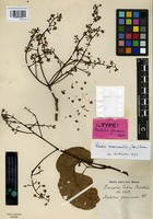 Isotype of Machilus glaucescens Wight [family LAURACEAE]