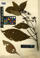 Isotype of Psychotria falcata Rusby [family RUBIACEAE]
