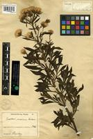 Type of Baccharis maxima Baker [family ASTERACEAE]