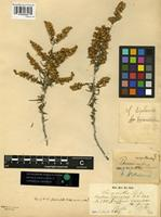 Syntype of Baccharis fasciculata Klatt [family ASTERACEAE]