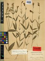 Isotype of Lychnis saxatilis Turcz. ex Fisch. and Mey. [family CARYOPHYLLACEAE]