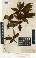 Isotype of Conostegia sphaerica Triana [family MELASTOMATACEAE]