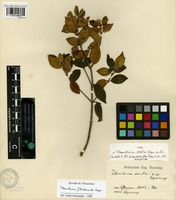 Isolectotype of Tibouchina ovata Cogn. [family MELASTOMATACEAE]