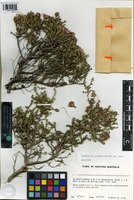 Holotype of Beaufortia bicolor Strid [family MYRTACEAE]
