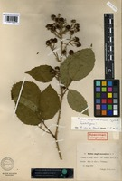 Lectotype of Rubus anglo-saxonicus Gelert [family ROSACEAE]