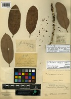 Isotype of Chrysophyllum glaucescens Engl. [family SAPOTACEAE]