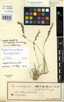 Holotype of Poa multiflora Forssk. [family GRAMINEAE]