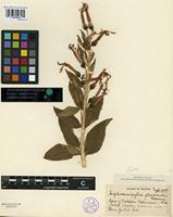 Isotype of Siphocampylus flavoruber Gleason [family CAMPANULACEAE]