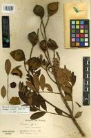Isotype of Ormosia friburgensis Taub. ex Harms [family FABACEAE]
