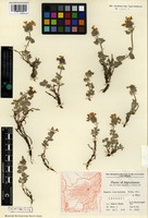 Isotype of Nepeta leucocyanea Rech. f. and Köie [family LAMIACEAE]