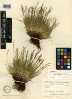 Holotype of Festuca brachyphylla Schult. and Schult. f. subsp. coloradensis Fred. [family POACEAE]