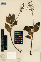 Isotype of Adenostylis vanoverberghii Ames [family ORCHIDACEAE]