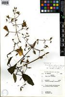 Isotype of Mimulopsis solmsii Schweinf. var. oreophila Troupin [family ACANTHACEAE]