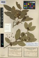 Lectotype of Acokanthera deflersi Schweinf. [family APOCYNACEAE]