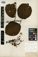 Isotype of Hydrangea khasiana Hook. f. and Thomson [family HYDRANGEACEAE]