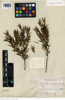Syntype of Calyptranthes angustifolia Kiaersk. [family MYRTACEAE]