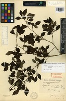 Holotype of Psychotria parvifolia Benth. [family RUBIACEAE]