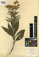 Type of Verbesina cinerascens B.L. Rob. and Greenm. [family ASTERACEAE]