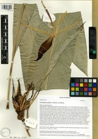 Holotype of Orchidantha grandiflora J. Mood and L.B. Pedersen [family LOWIACEAE]