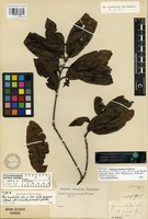 Syntype of Quercus citrifolia Liebm. [family FAGACEAE]