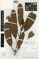 Isotype of Calophyllum arestanosans P.F. Stevens [family CLUSIACEAE]