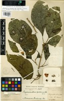 Lectotype of Onobrychanthus speciosus Oerst. [family ACANTHACEAE]