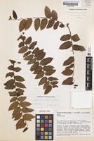 Isotype of Glochidion urceolare Airy Shaw [family PHYLLANTHACEAE]
