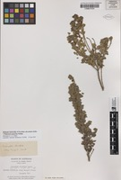 Isolectotype of Euchilus obcordatus R.Br. [family FABACEAE]