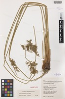 Isotype of Juncus psammophilus L.A.S.Johnson [family JUNCACEAE]