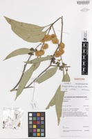 Isotype of Eucalyptus tereticornis Sm. subsp. rotunda A.R.Bean [family MYRTACEAE]