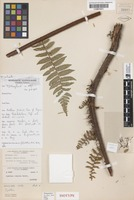 Isotype of Cyathea rubella Holttum [family CYATHEACEAE]