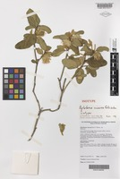 Isotype of Diplolaena cinerea Paul G.Wilson [family RUTACEAE]