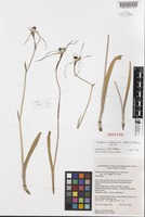 Isotype of Caladenia heberleana Hopper & A.P.Br. [family ORCHIDACEAE]