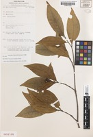 Isotype of Neonauclea subulifera Ridsdale [family RUBIACEAE]