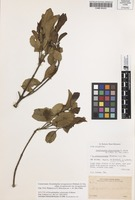 Isotype of Dryadodaphne celastroides S.Moore [family MONIMIACEAE]