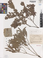 Isotype of Melaleuca arcana S.T.Blake [family MYRTACEAE]
