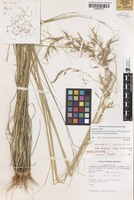 Holotype of Stipa dongicola Vickery, S.W.L.Jacobs & J.Everett [family POACEAE]