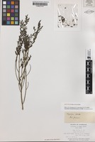 Isotype of Olax stricta R.Br. [family OLACACEAE]