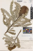 Isotype of Banksia ashbyi Baker f. subsp. boreoscaia A.S.George [family PROTEACEAE]