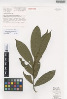 Isotype of Haplostichanthus rufescens Jessup [family ANNONACEAE]
