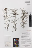 Holotype of Grevillea humilis Makinson subsp. lucens Makinson [family PROTEACEAE]