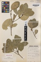 Holotype of Medicosma obovata T.G.Hartley [family RUTACEAE]
