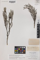 Isolectotype of Cassia phyllodinea R.Br. [family CAESALPNIACEAE]
