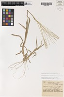 Isotype of Digitaria ammophila (Benth.) Hughes var. macrolepis Henrard [family POACEAE]