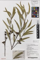 Isotype of Eucalyptus frenchiana D.Nicolle [family MYRTACEAE]